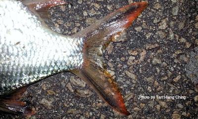 PANCING: Ikan air Payau,Tawar - photo#44