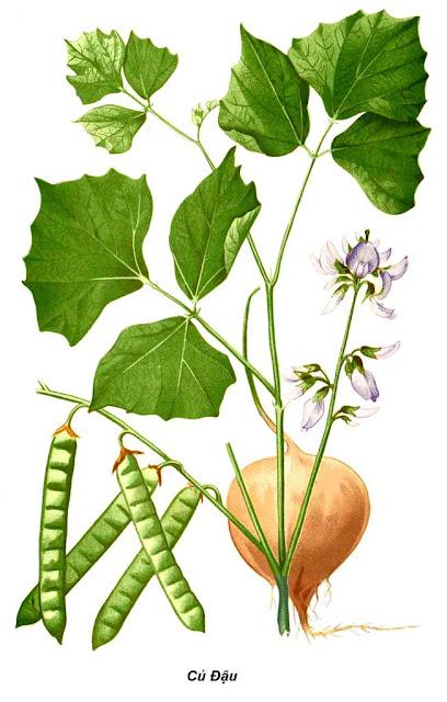 Cây Củ Đậu - Pachyrhizus erosus-Nguyên liệu làm thuốc Có Chất Độc
