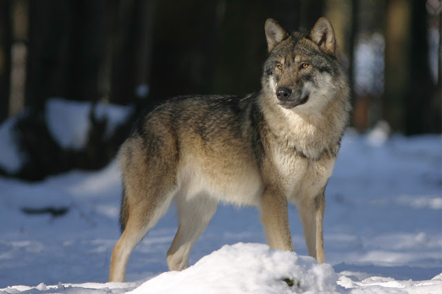 Asian dog breeds, Asian husky