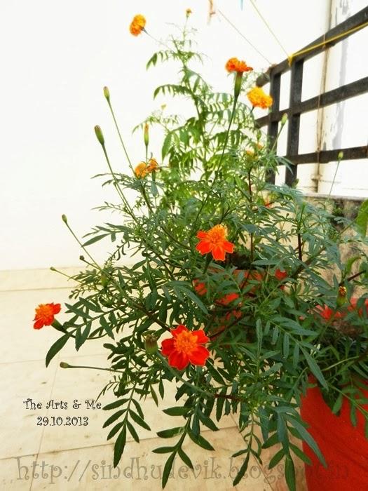 Marigold flowers in my garden