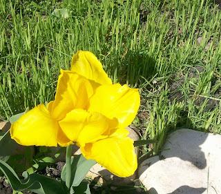 гордый вид и строгий стан – это солнечный тюльпан.