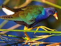Mandar (Porphyrio porphyrio), Burung Air yang Hobi Tinggal di Rawa