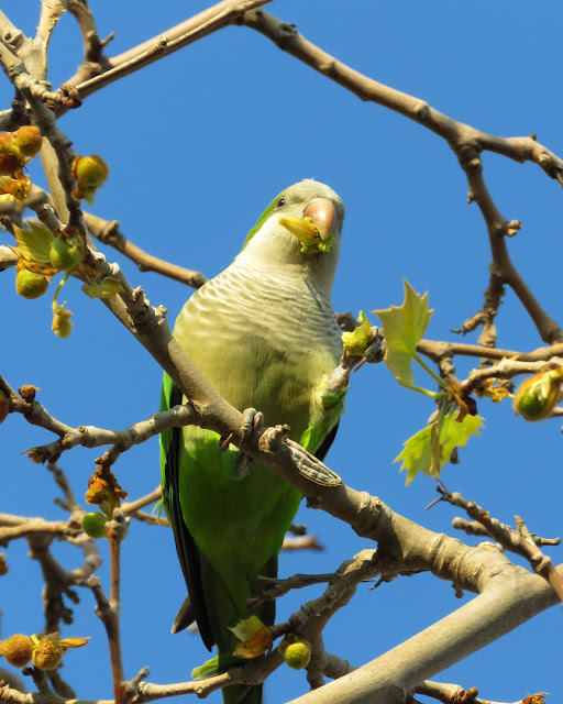 Monk parakeet on a tree, Pla de Palau, Barcelona