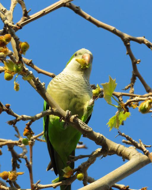Monk parakeet on a tree, Pla de Palau, Barcelona