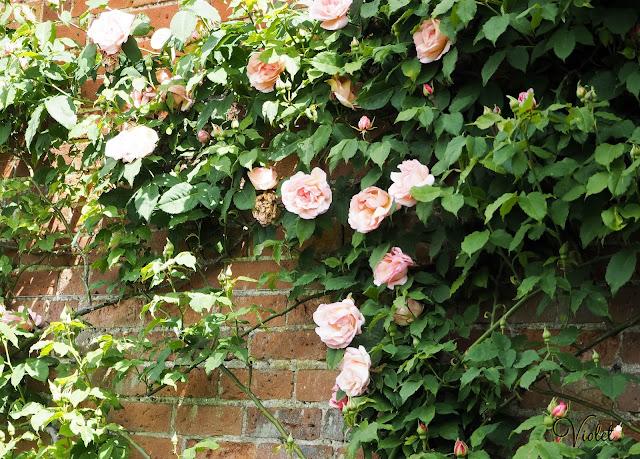 Mottisfont rose gardens