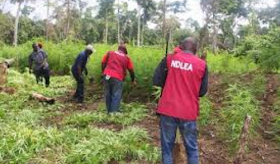 NDLEA Destroys Hectares Of Cannabis Sativa In Plateau