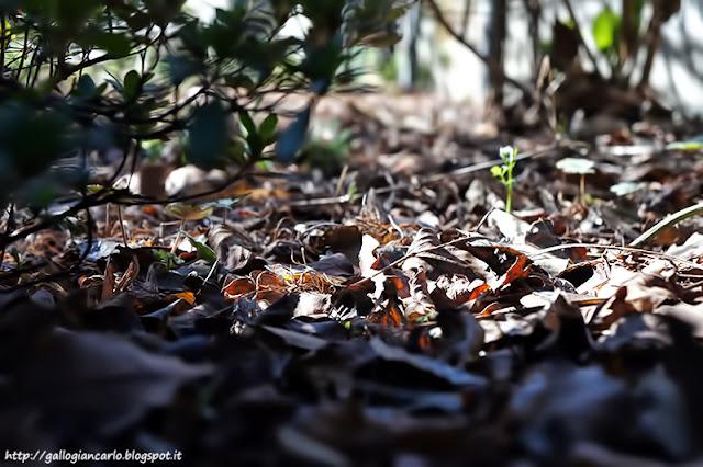 foglie_secche