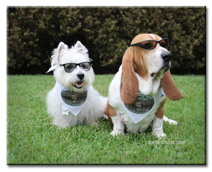 Pierre Westie and Bentley Basset in sunglasses and bandanas