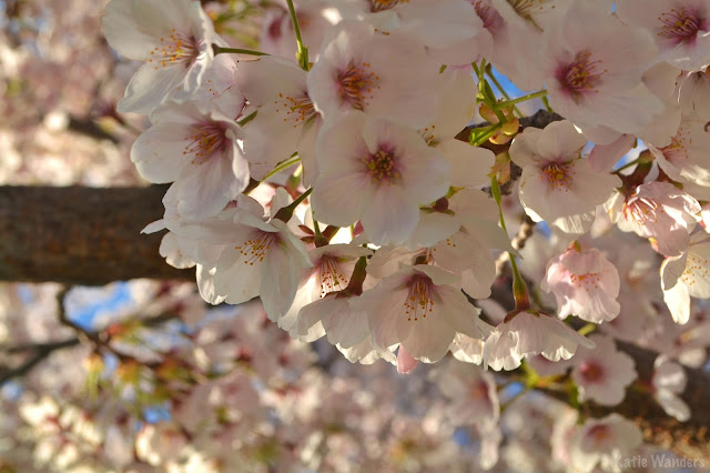Cherry blossoms at Utah State Capitol Building