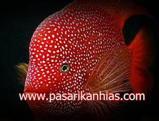 Type Ikan Hias Louhan indonesia Super Red Synspillum
