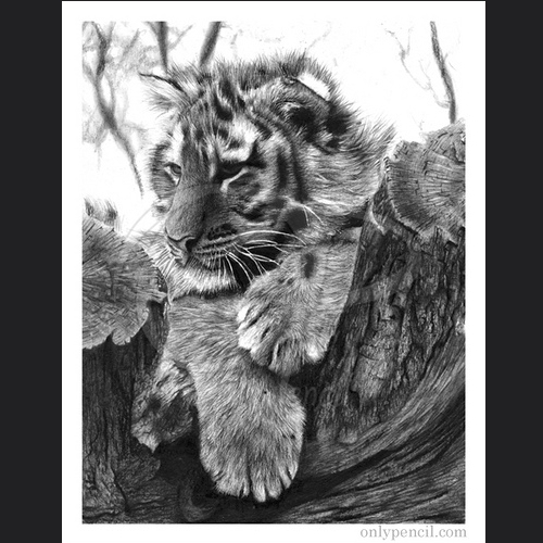 03-Tiger-Cub-Lisandro-Peña-Animal-Drawings-with-Attention-to-Minute-Details-www-designstack-co
