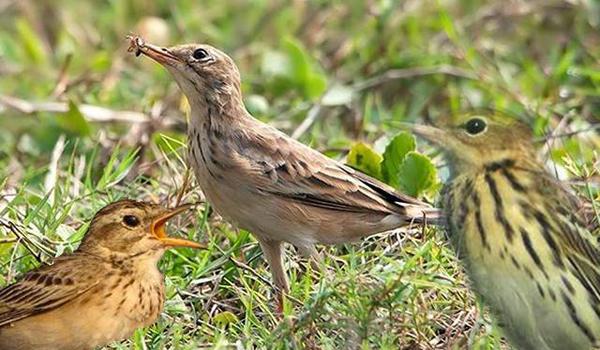 burung branjangan ngeriwik