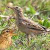 Cara Perawatan Burung Branjangan Ngeriwik