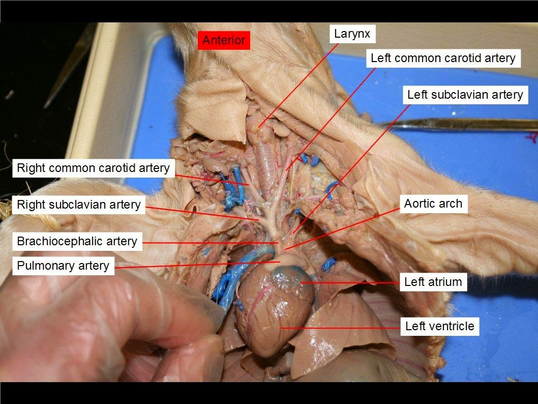 hight resolution of after you observe blood vessels around the heart search for other blood vessels in the pig carefully do not remove any organs at this point