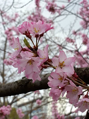 Early bloomer of sakura at Osaka Castle Park Japan