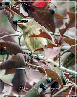 Juvenile Cedar Waxwing. Copyright © Shelley Banks, all rights reserved.