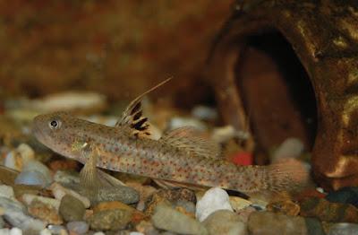 ikan baru, spesies baru, ikan Pseudogobiopsis lumbantobing