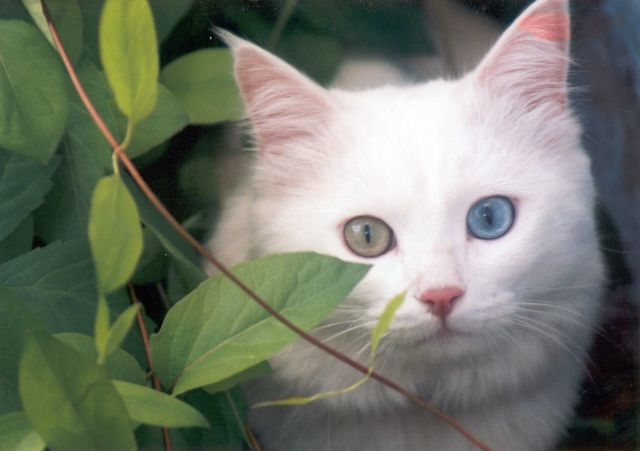Aegean-cats-healthiana