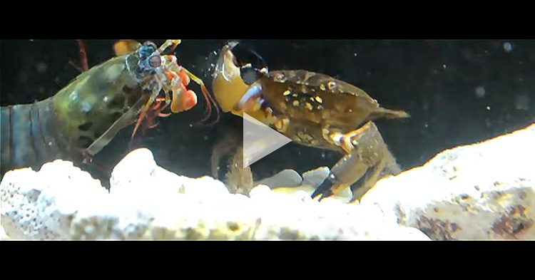 "Giant Mantis Shrimp knock out its prey with ""powerful punch"""
