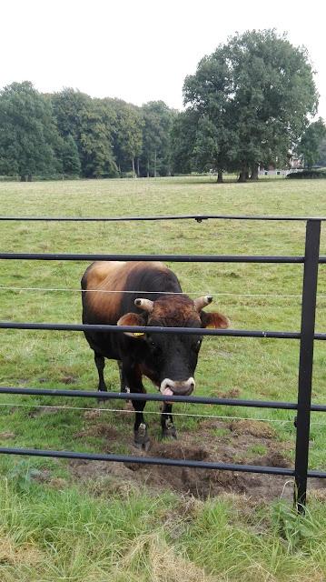 Stier in weiland, vlakbij het hek, op weg naar de priorij