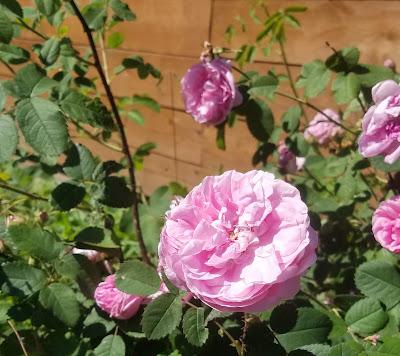 июньские зарисовки 2018, цветёт чайная роза, из которой я готовлю варенье