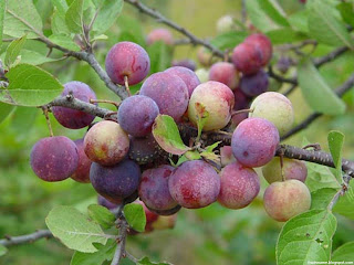Beach plum fruit images wallpaper