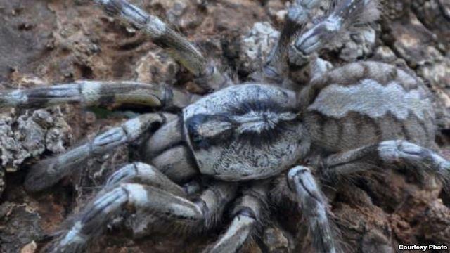 Tarantula Raksasa Dari Sri Lanka Sebesar Kepala