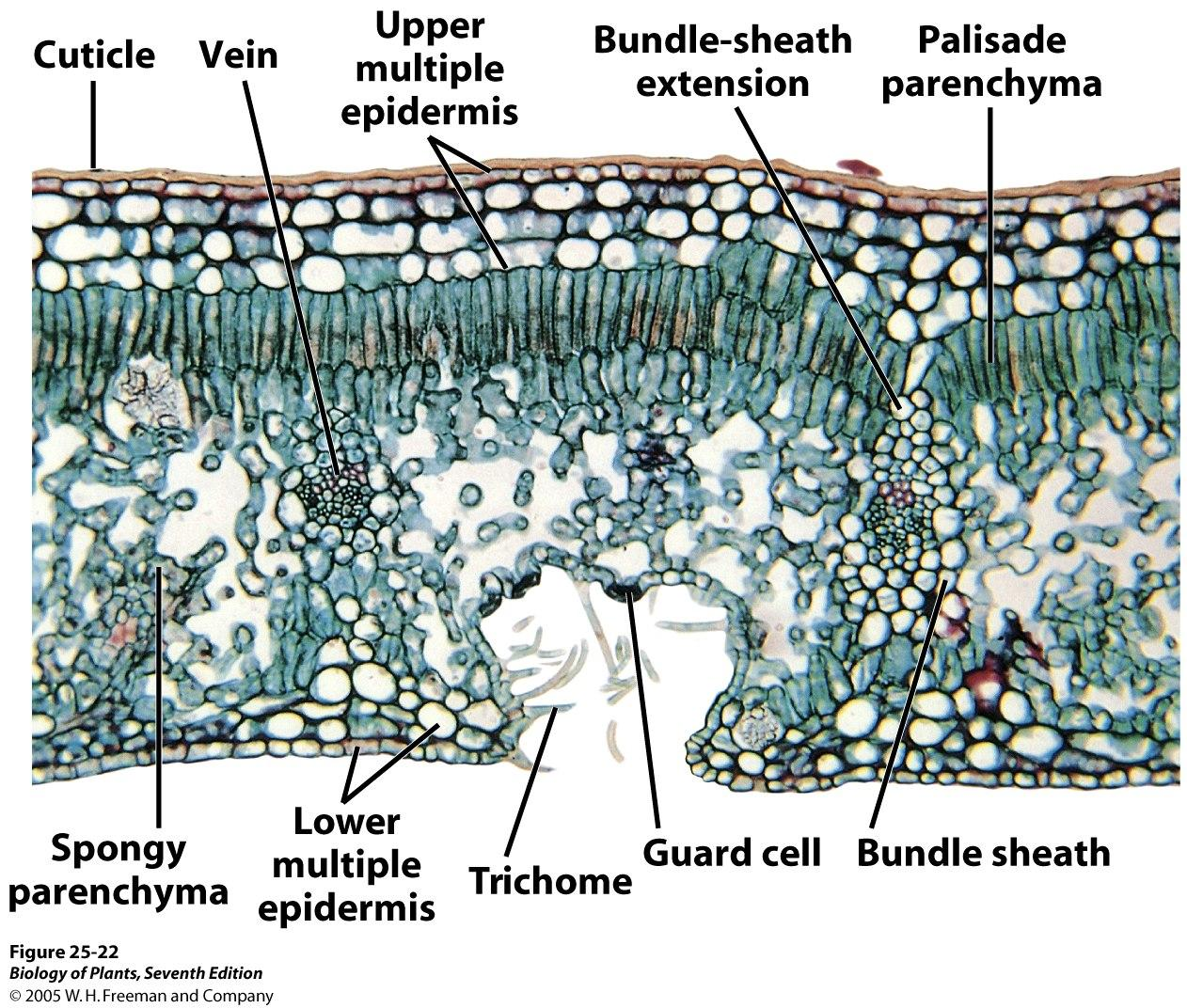 Biology For Life With Palisade Mesophyll Cell Diagram Likewise Plant Dicot Leaf Anatomy