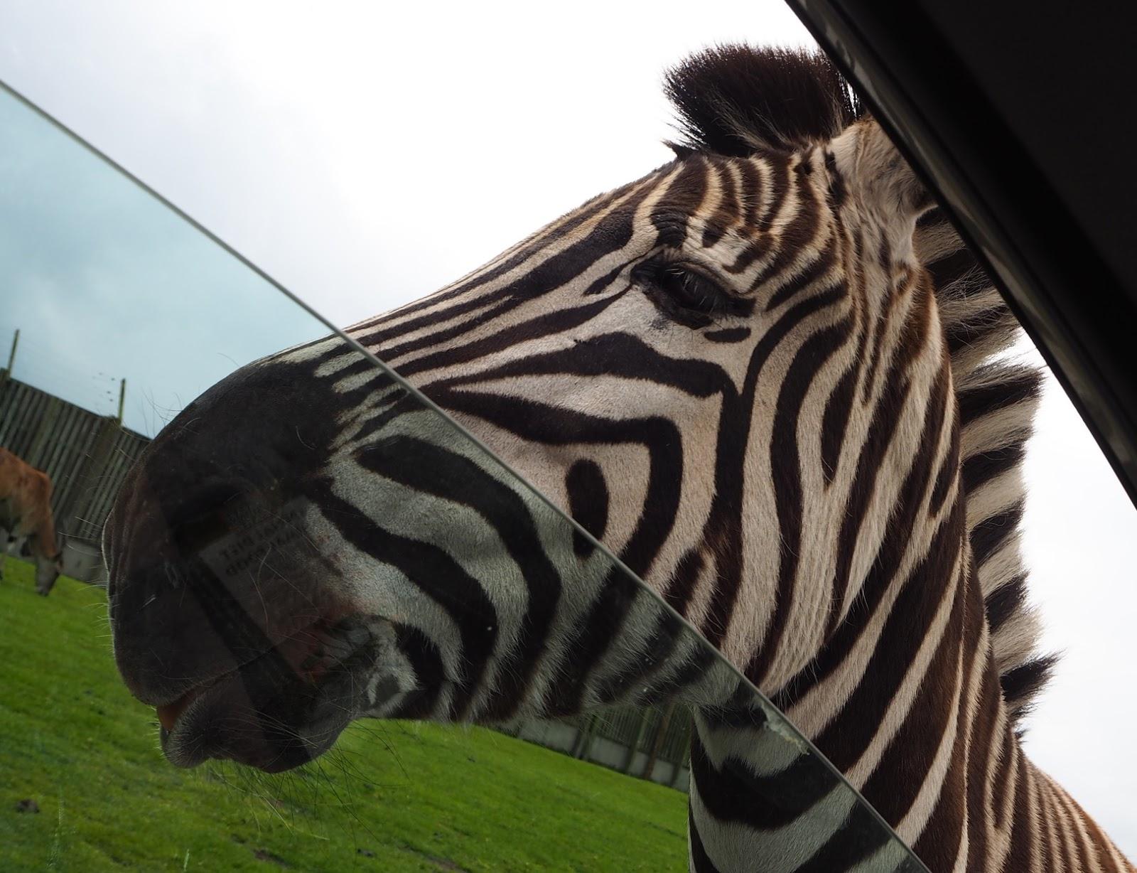 west midland safari park zebra