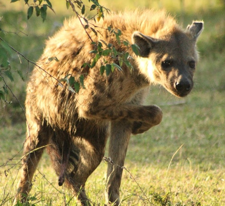 Notes From Kenya Msu Hyena Research February 2017