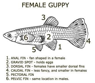 Cara Membedakan ikan guppy betina
