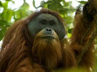 Penemuan Spesies Baru Orang Utan Paling Langka di Bumi
