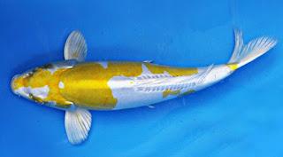Jenis Ikan Koi Doitsu Hariwake