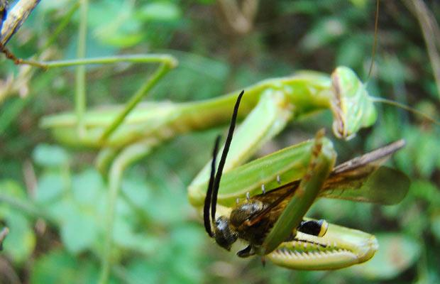 praying mantis eating fly