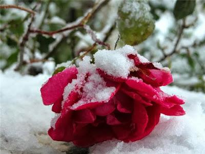 розы,обрезка роз,подкормка роз,посадка роз