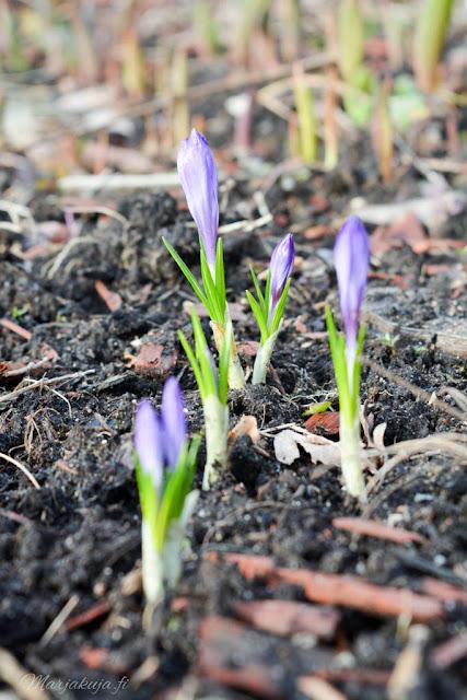 krookus kevät kukkija