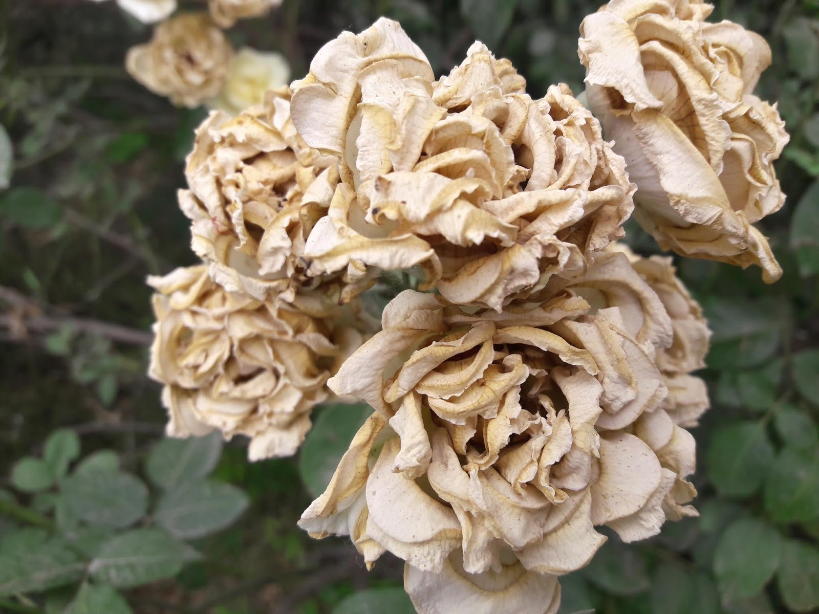 Nature clicks click by niaxi dead white roses dead white roses mightylinksfo