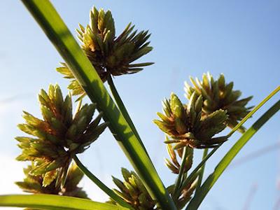 Juncia olorosa (Cyperus eragrostis)