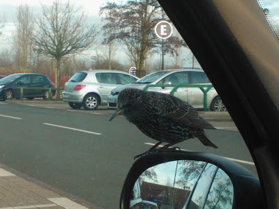 A Starling on my Wing Mirror
