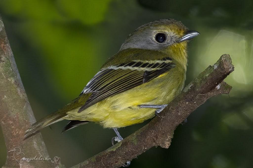 Bailarín verde (Wing-barred Manakin) Piprites chloris