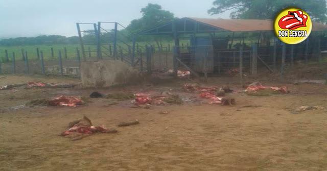 Saquearon una finca y mataron a 18 toros en el Estado Lara