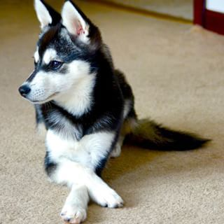 everything about your alaskan klee kai luv my dogs