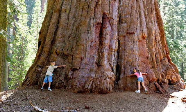 Inilah Fakta Unik Pohon Terbesar dan Tertinggi Di Dunia - munsyafandi.com