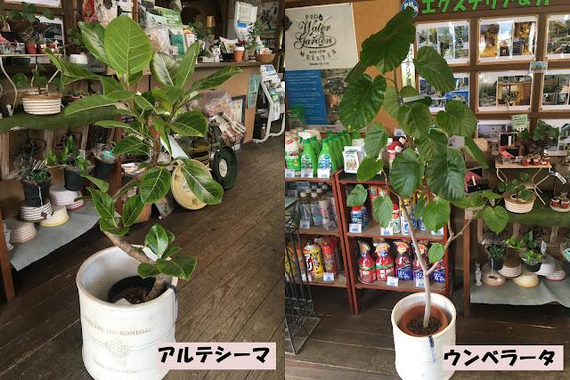 観葉植物のご紹介♪ 〜育てやすいフィカス属〜