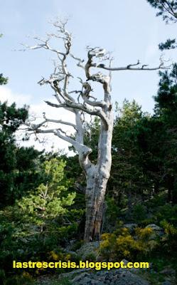 Pinus Sylvestris muerto