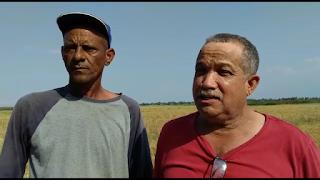 Productores de arroz de Jobocorcobado no reciben ayuda de Agricultura.