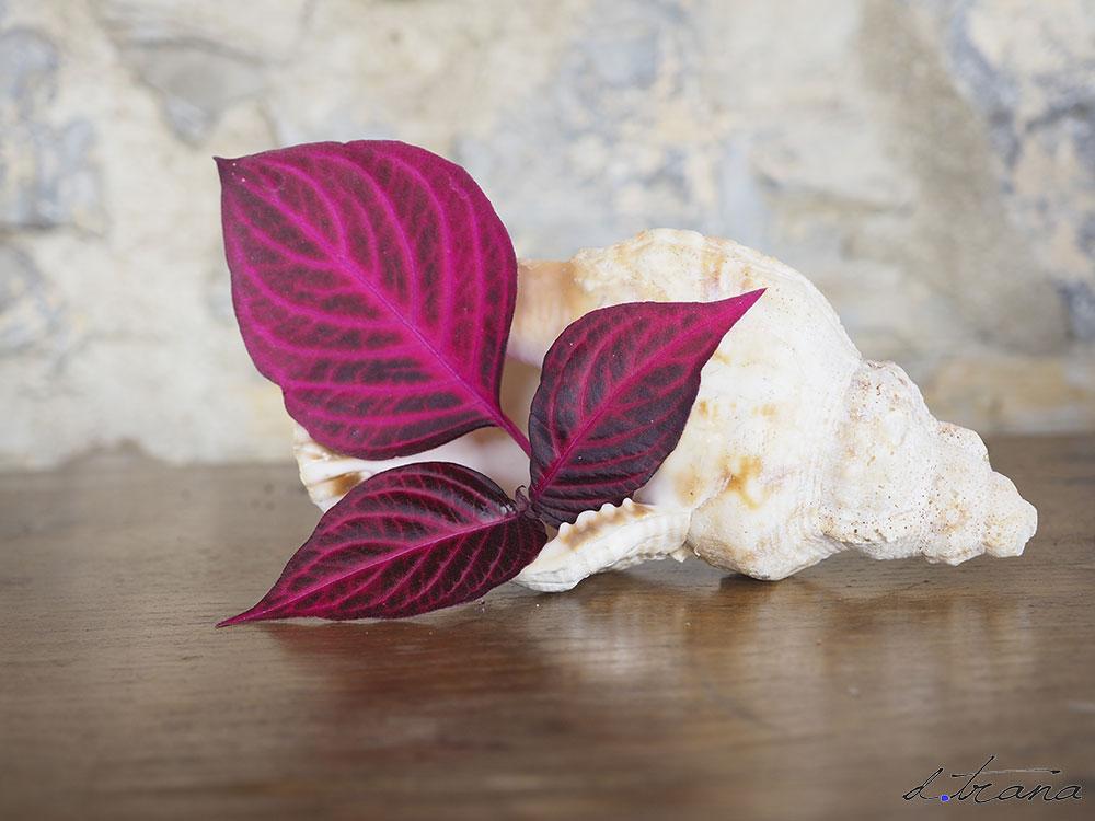 Compasición ; caracola antigua con hojas de Irisine