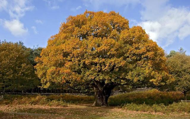 Выращиваем Священную Рощу. Первое дерево %25D0%2594%25D1%2583%25D0%25B1-%25D0%25BE%25D1%2581%25D0%25B5%25D0%25BD%25D1%258C%25D1%258E-%25D1%2584%25D0%25BE%25D1%2582%25D0%25BE