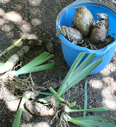 Bulbs asexual reproduction