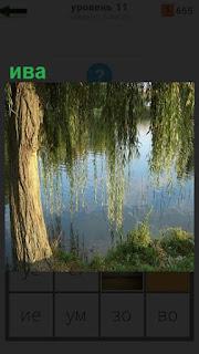 На берегу водоема стоит плакучая ива, ветки достают до воды